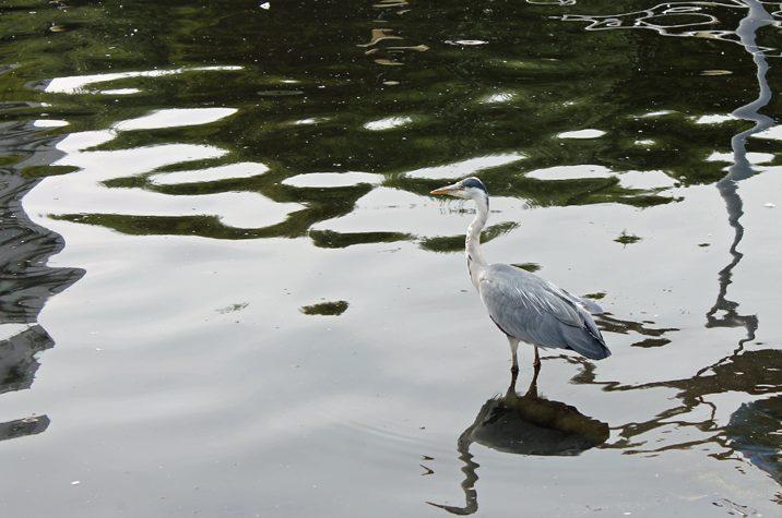 The Quay's majestic heron