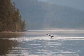 Western Canada - humpback whale