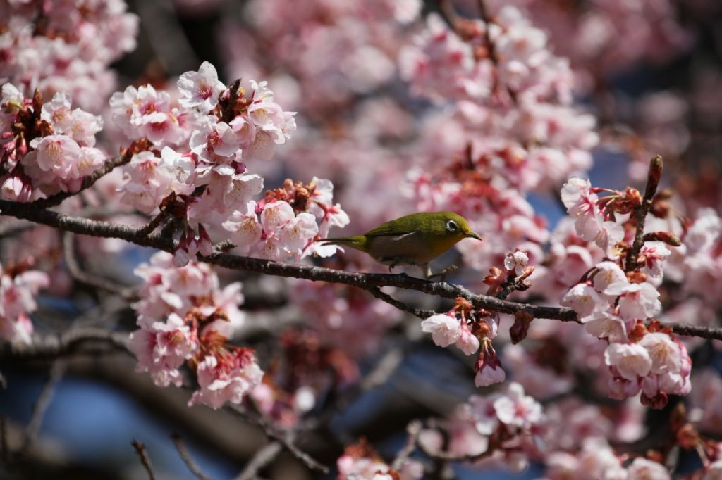 Cherry Blossoms and a White-eye Bird ©Yasufumi Nishi/©JNTO