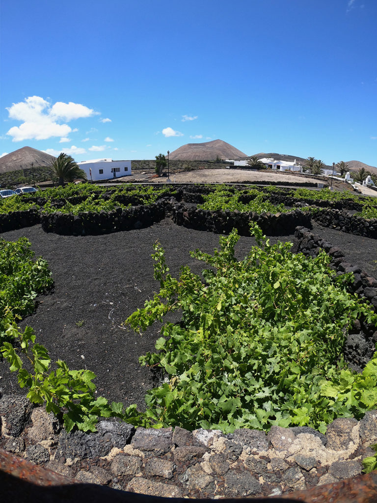 Growing vines, Lanzarote