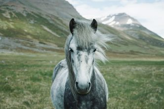 Gray horse. Photo by Oscar Nilsson on Unsplash