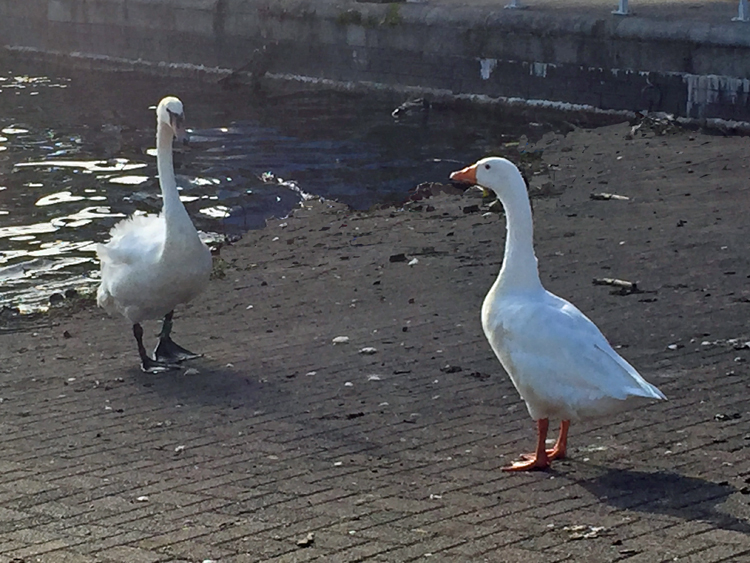 The goose who thinks he's a swan