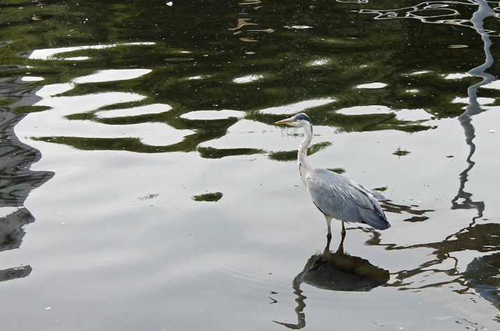 The Quay's majestic heron