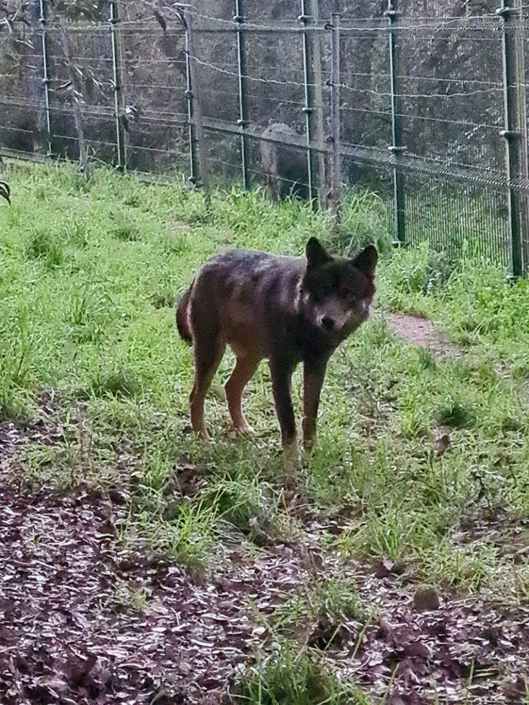 Wolf at Iberian wolf sanctuary, Lisbon
